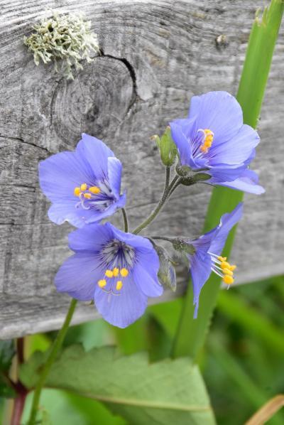 霧多布湿原のお花畑2019~真っ白なワタスゲの絨毯と初夏を彩る花々~(北海道)