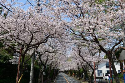 桜の伊豆高原