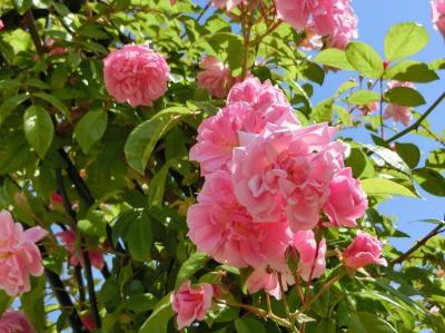 外出自粛中、久し振りの快晴に誘われて、大阪万博記念公園 「平和のバラ園~日本庭園」をぶらぶら散歩。(2020)