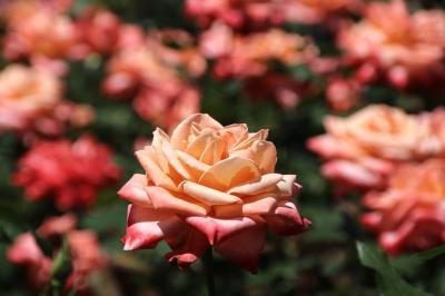 バラが最盛期を迎えた智光山公園の植物園~お気に入りの紫雲とアプリコットキャンディーが咲きそろった1番の見頃に~
