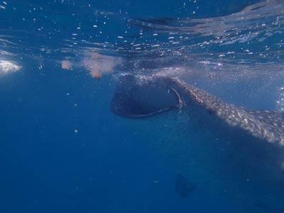 セブ島☆モアルボアル ダイビング・オスロブ ジンベエザメ シュノーケリング・スミロン島