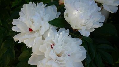 宝塚市中筋へ、フェイジョアが咲いたか見せて貰いの散歩 その5。