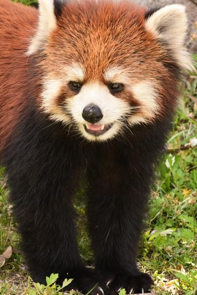 レッサーパンダはかわゆい !!!  広島市安佐動物公園