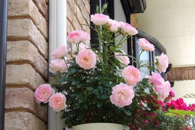 天照大神宮下の狭い小路のお宅のバラの花(横浜市港南区港南5)