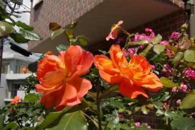 桜道沿いのお宅のバラの花(横浜市港南区港南5)