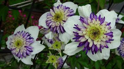 ワイルドフラワーのボトルブラシュの花を探して その5。