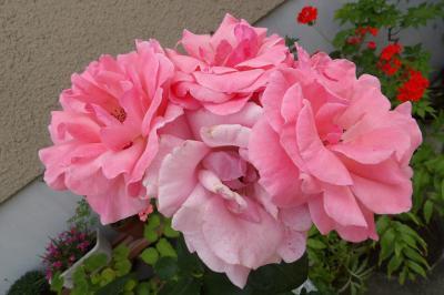 上永谷・港南中央駅界隈で咲いているバラの花