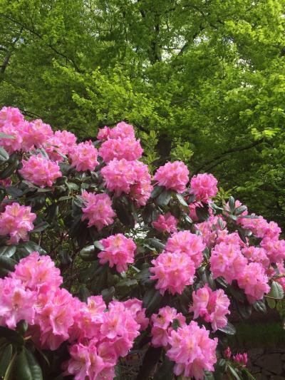 シャクナゲの咲く公園