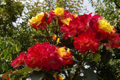 横浜刑務所横のバラ園のバラの花(横浜市港南区港南5)