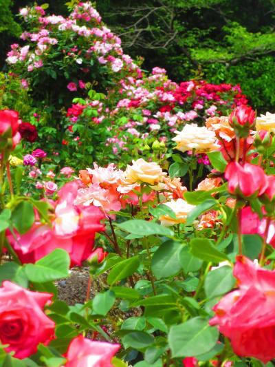 四日市市南部丘陵公園のバラを見に行きました。あすなろう鉄道の西日野駅からの再チャレンジです。
