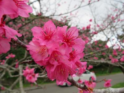山原(やんばる)桜祭りに行ってきました。