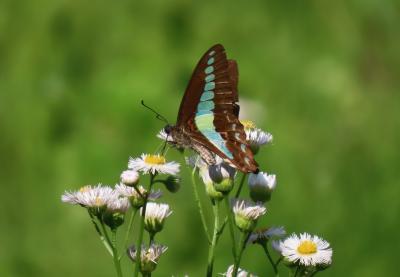 森のさんぽ道で見られた蝶(28)アオスジアゲハ、キタテハ、ルリタテハ、テングチョウ、キチョウその他