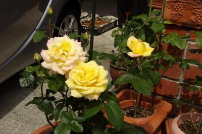上大岡駅界隈で咲いているバラの花