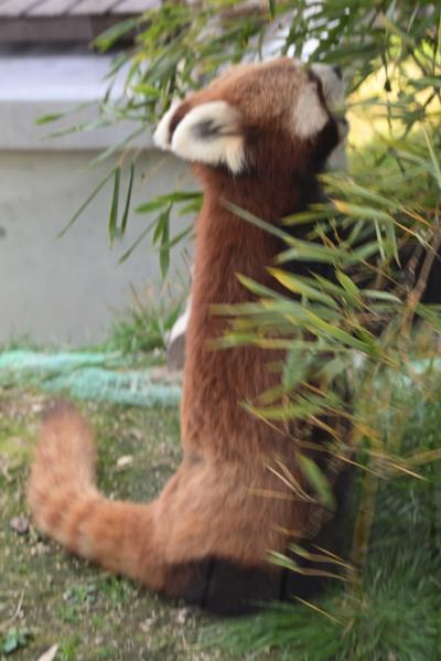 レッサーパンダはかわゆい !!! 徳山動物園 2