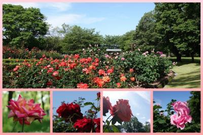 広見公園のバラを見て来ました 2020.05.23