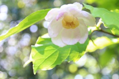 週末7連続目の智光山公園都市緑化植物園は終焉前の光を放つバラ園から見頃はじめのアジサイ園&ナツロウバイやカルミアやニワゼキショウに感激