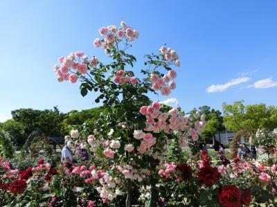 五月晴れに誘われて、大阪万博記念公園・平和のバラ園で「バラ三昧の一日」を過ごす。(2020)