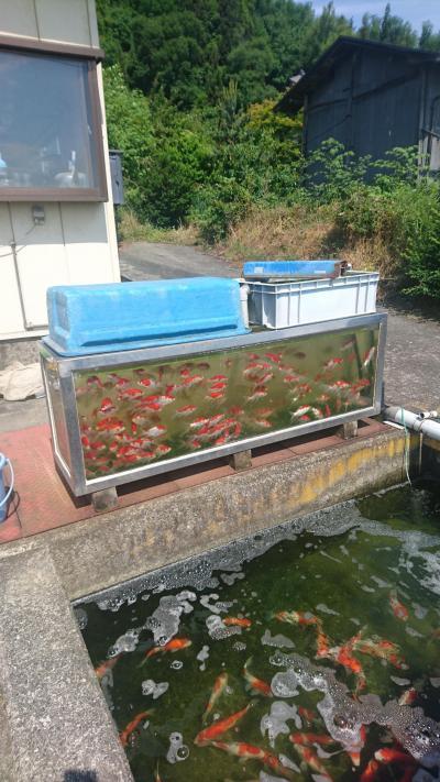 錦鯉・金魚の産地 山形市常明寺地区を散策