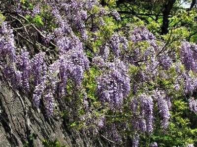 コロナウイルス影響で人の少ない場所を探して!「山藤」の花に癒されました。