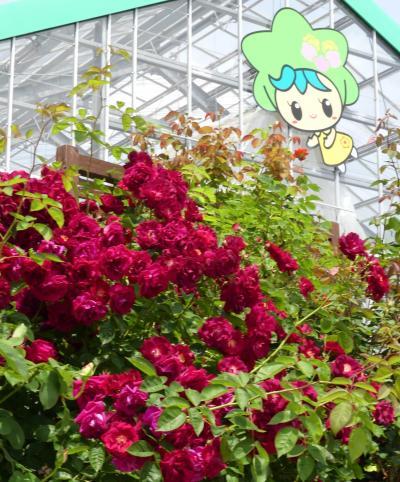 「とちぎ花センター」のバラ_2020_見頃が続いていました(栃木市・岩舟町)