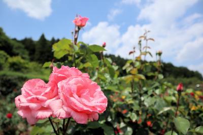 奥殿陣屋でバラの香りに包まれてきました