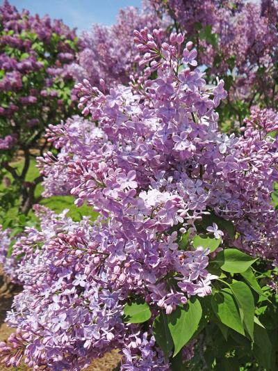 花の札幌 川下公園ライラックの森 I