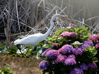 この季節ならではの花を愛でながら散策を楽しんでます《花しょうぶ・紫陽花》 & ショートショートサギ物語