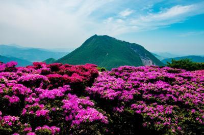 鶴見岳のミヤマキリシマ 2020