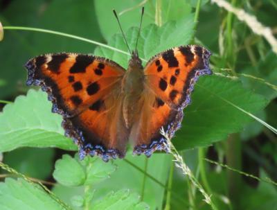 森のさんぽ道で見られた蝶(30)ヒオドシチョウ、ウラナミアカシジミ、アカシジミ、キマダラセセリ等