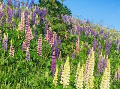 ルピナスと動物と初夏のお花