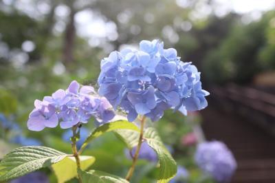 東京アジサイ名所 多摩川台公園