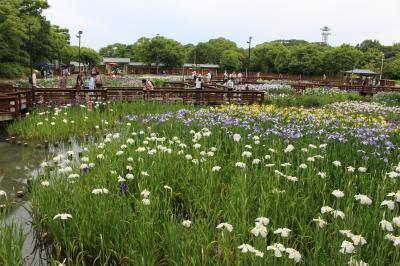 水辺を涼やかに彩る花しょうぶ ~枚方市の山田池公園~