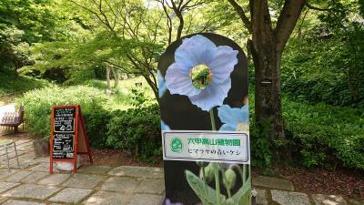 2020年6月暑さを避けヒマラヤの青いケシの咲く六甲山へ
