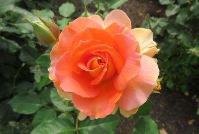 2020春、鶴舞公園のバラ(5/12):5月26日(5):ブラスバンド、マリア・カラス、ブルー・ムーン、芳純、オクラホマ