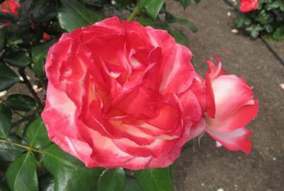 2020春、鶴舞公園のバラ(6/12):5月26日(6):ジャルダン・ドゥ・フランス、ノスタルジー、ホワイト・クリスマス