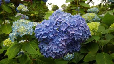 京都植物園の四季-その4(はなしょうぶとアジサイ)