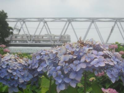 緊急事態宣言解除後も越県移動は避けて、都内で季節を感じに小岩菖蒲園へ行ってみました