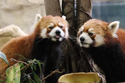 車で遠征2度目の那須どうぶつ王国(2)アジアの森と保全の森:レッサーパンダは女子は休みで男子4頭~エサやり体験なくてもリンゴタイムに遭遇!