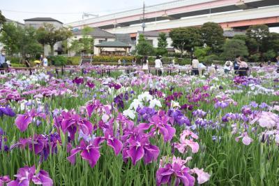 江戸名所の堀切菖蒲園は満開です