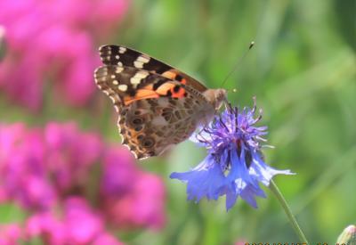 森のさんぽ道で見られた蝶(33)ヒメアカタテハ、モンキチョウ、ヒカゲチョウ、ベニシジミその他