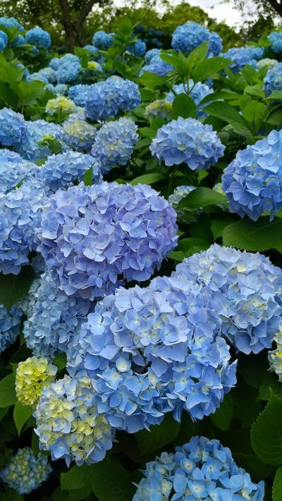 千葉県長南町に紫陽花を見に。