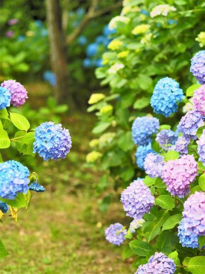 久しぶりのドライブ 日運寺の紫陽花
