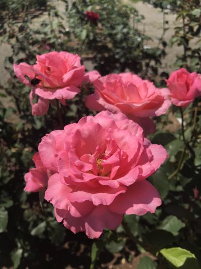 薔薇の香りでストレスが消えた一時(いっとき)