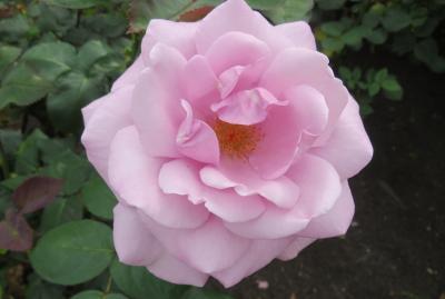 2020春、鶴舞公園のバラ(9/12):5月26日(9):イエロー・ブラスバンド、ホワイト・クリスマス、ノヴァーリス、ブルー・ライト