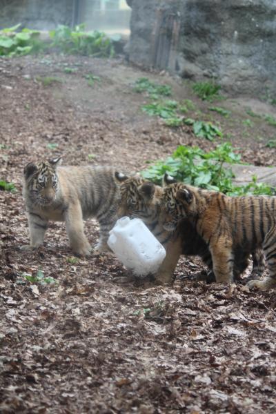 子トラに癒された旭山動物園