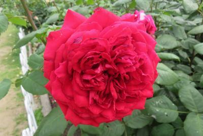 2020春、鶴舞公園のバラ(10/12):5月26日(10):ゴルデルゼ、ゴールデン・フラッシュ、ティネケ、ウインショッテン、コティヨン