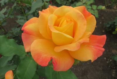 2020春、鶴舞公園のバラ(11/12):5月26日(11):ファッショニスタ、ラバグルート、ゴールドメダル、ピース、リオ・サンバ、聖火