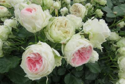 2020春、鶴舞公園のバラ(12/12):5月26日(12):ブラックゴールド、チャールストン、パシュミナ、奏楽堂、噴水塔、カルガモ