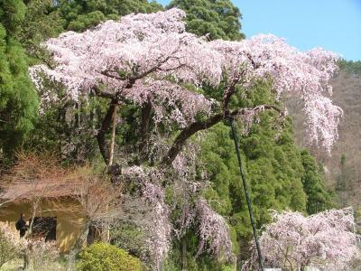 松代城跡の桜~須坂・五大桜~臥竜公園の桜