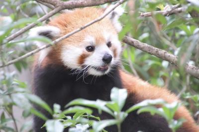 車で3度目の羽村市動物公園~夏日だけど涼しくなった夕方1時間半の滞在~レッサーパンダのソラちゃんメイン